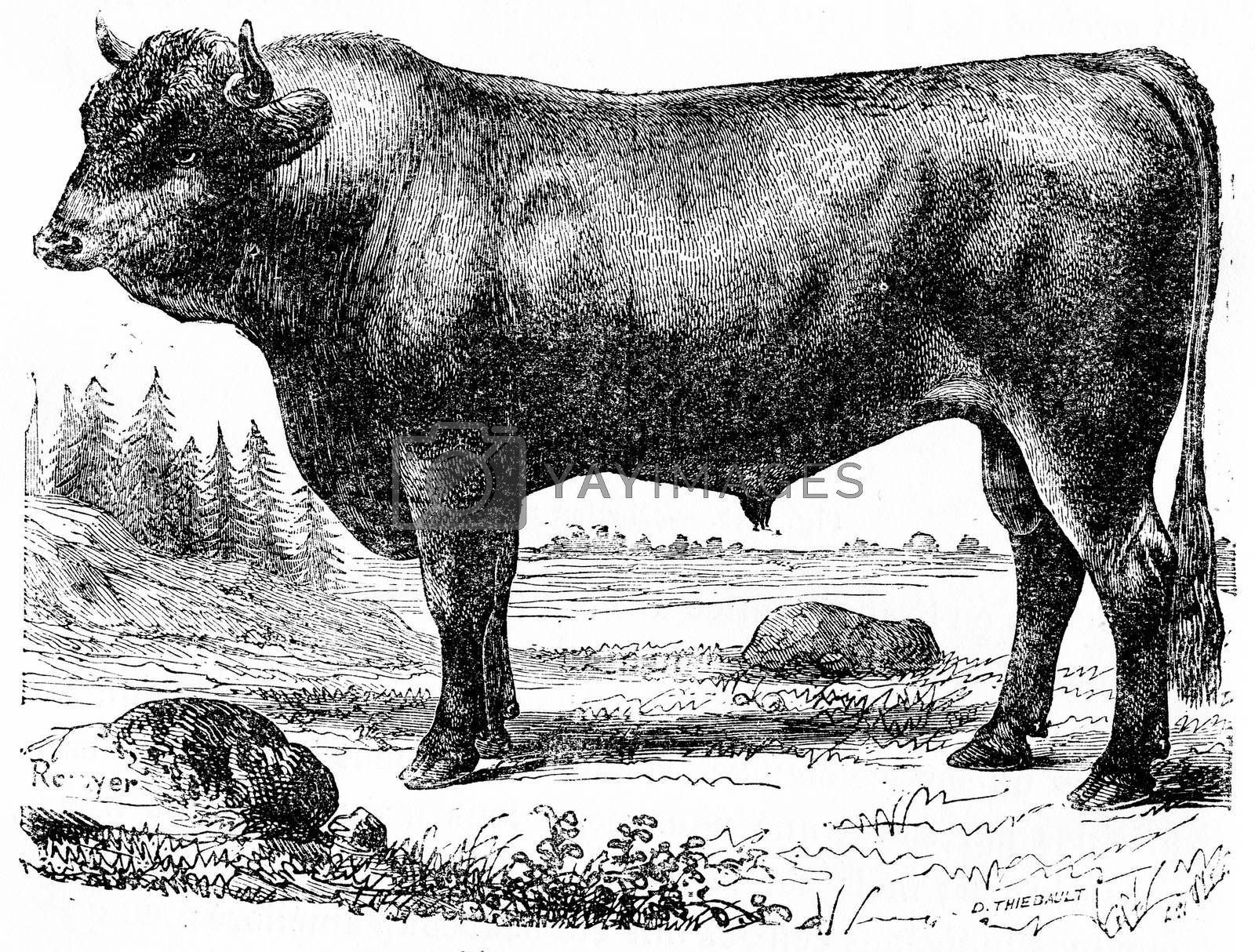 Taurus, vintage engraved illustration. Natural History of Animals, 1880.