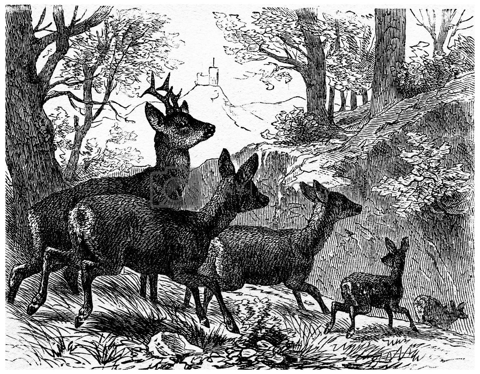 Deer, vintage engraving. by Morphart