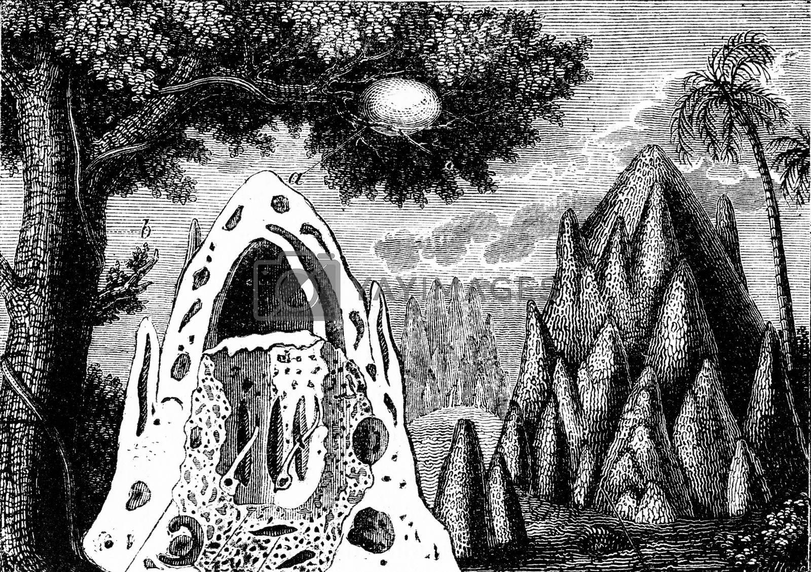 Termite nests, vintage engraving. by Morphart
