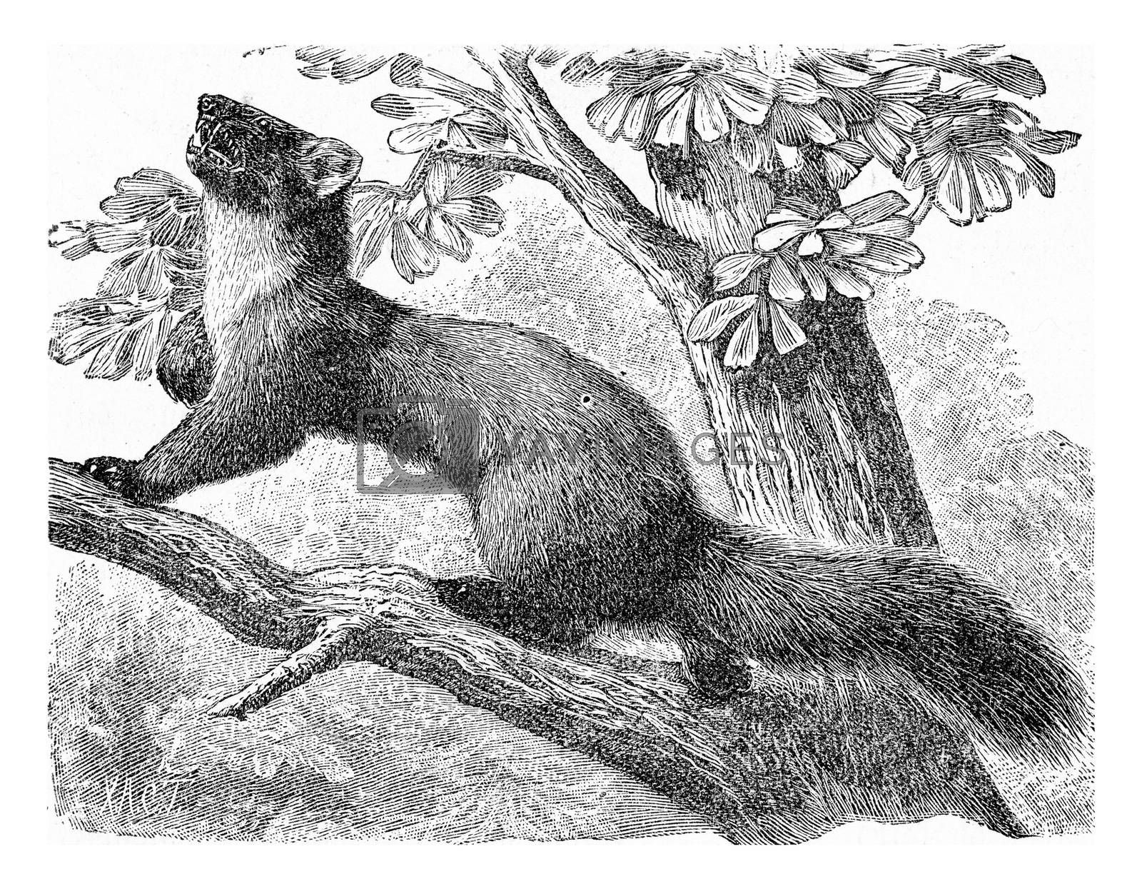 The pine marten, vintage engraving. by Morphart