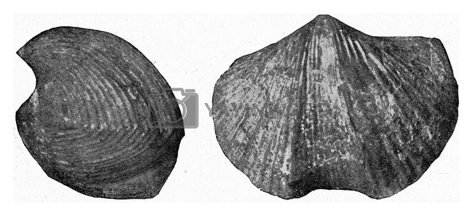 Fossil brachiopod of Carboniferous limestone, vintage engraved illustration. From the Universe and Humanity, 1910.