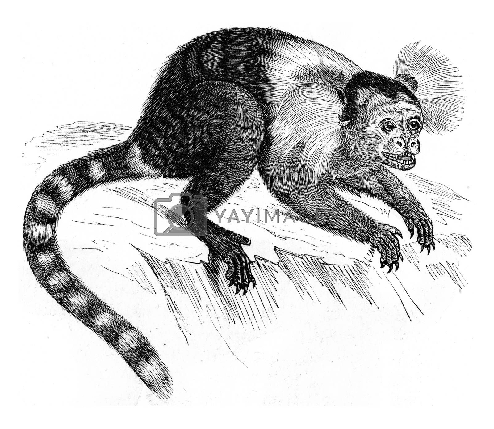 Marmoset, vintage engraved illustration. Zoology Elements from Paul Gervais