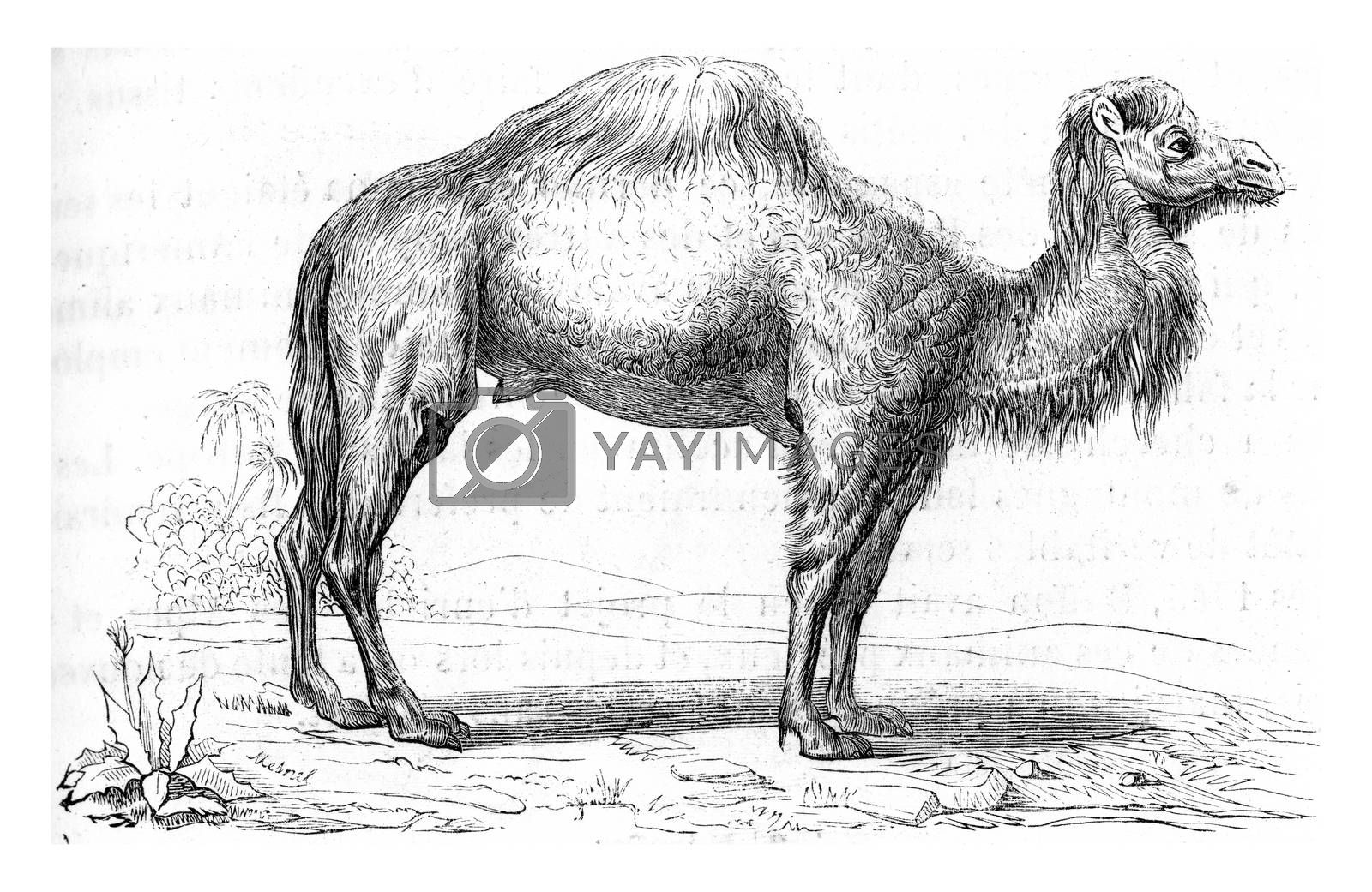 Dromedary, vintage engraved illustration. From Zoology Elements from Paul Gervais.