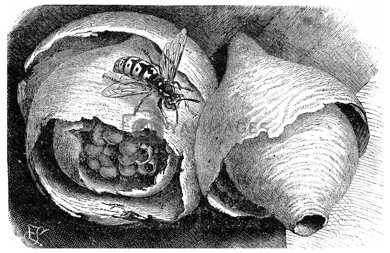 Wasp (paper wasp) and its nest, vintage engraving. by Morphart