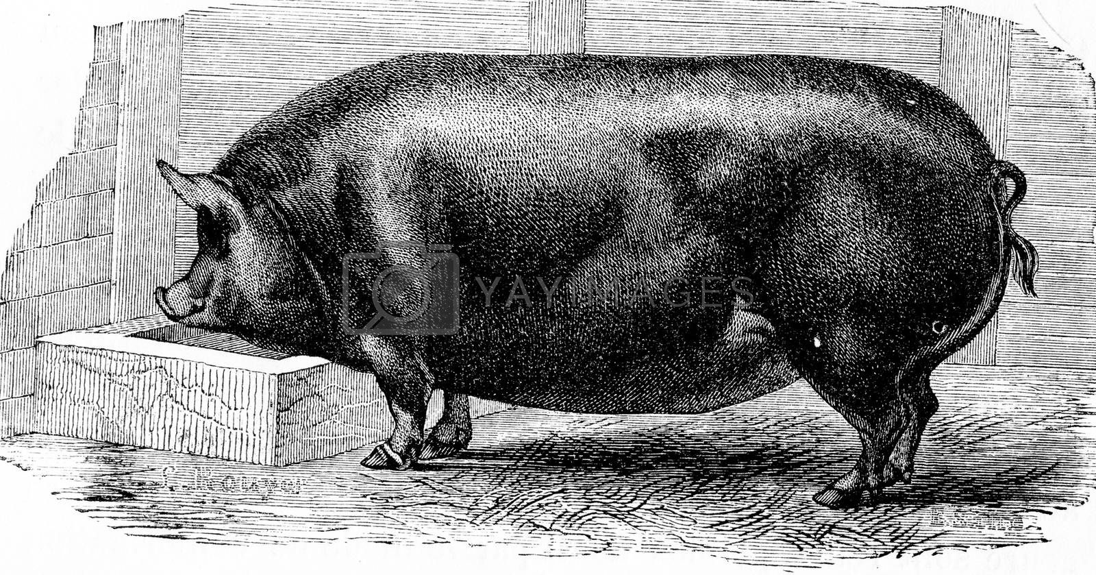 Pig, vintage engraved illustration. Natural History of Animals, 1880.