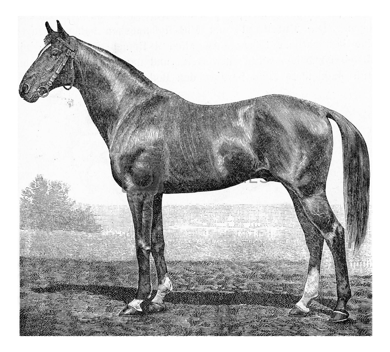 The horse Equus caballus, vintage engraved illustration. From Deutch Vogel Teaching in Zoology.