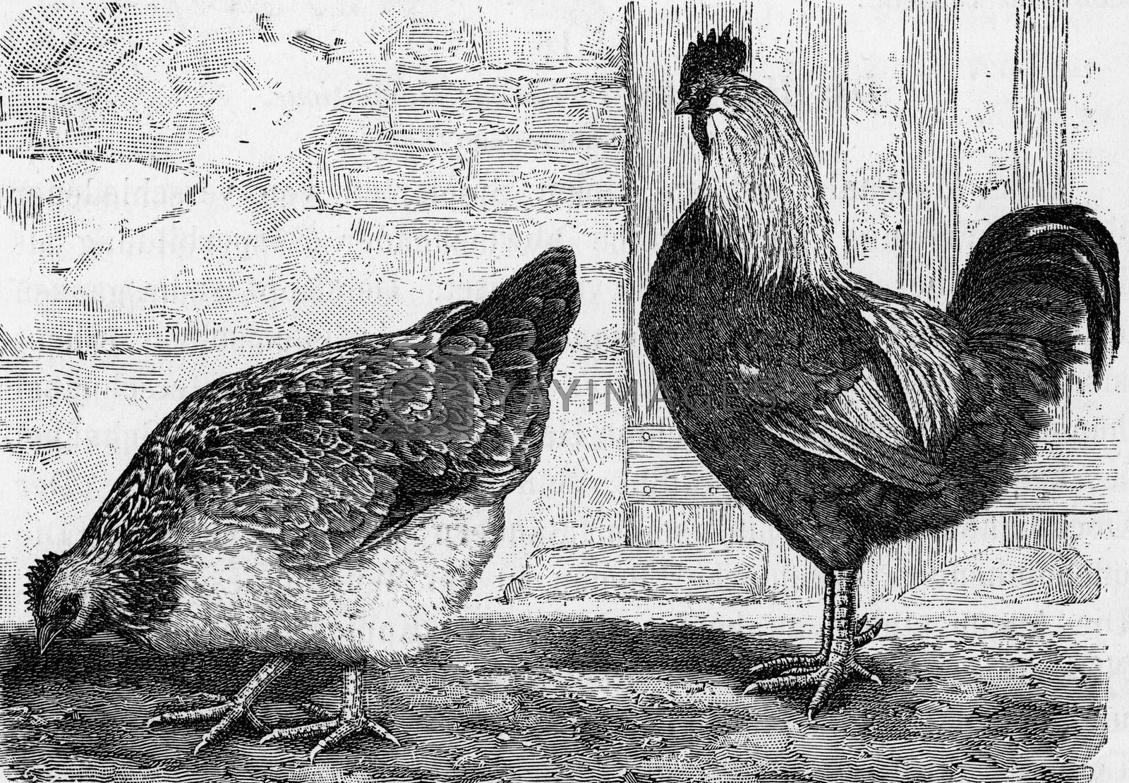 The house hen, Gallus domesticus, vintage engraving. by Morphart
