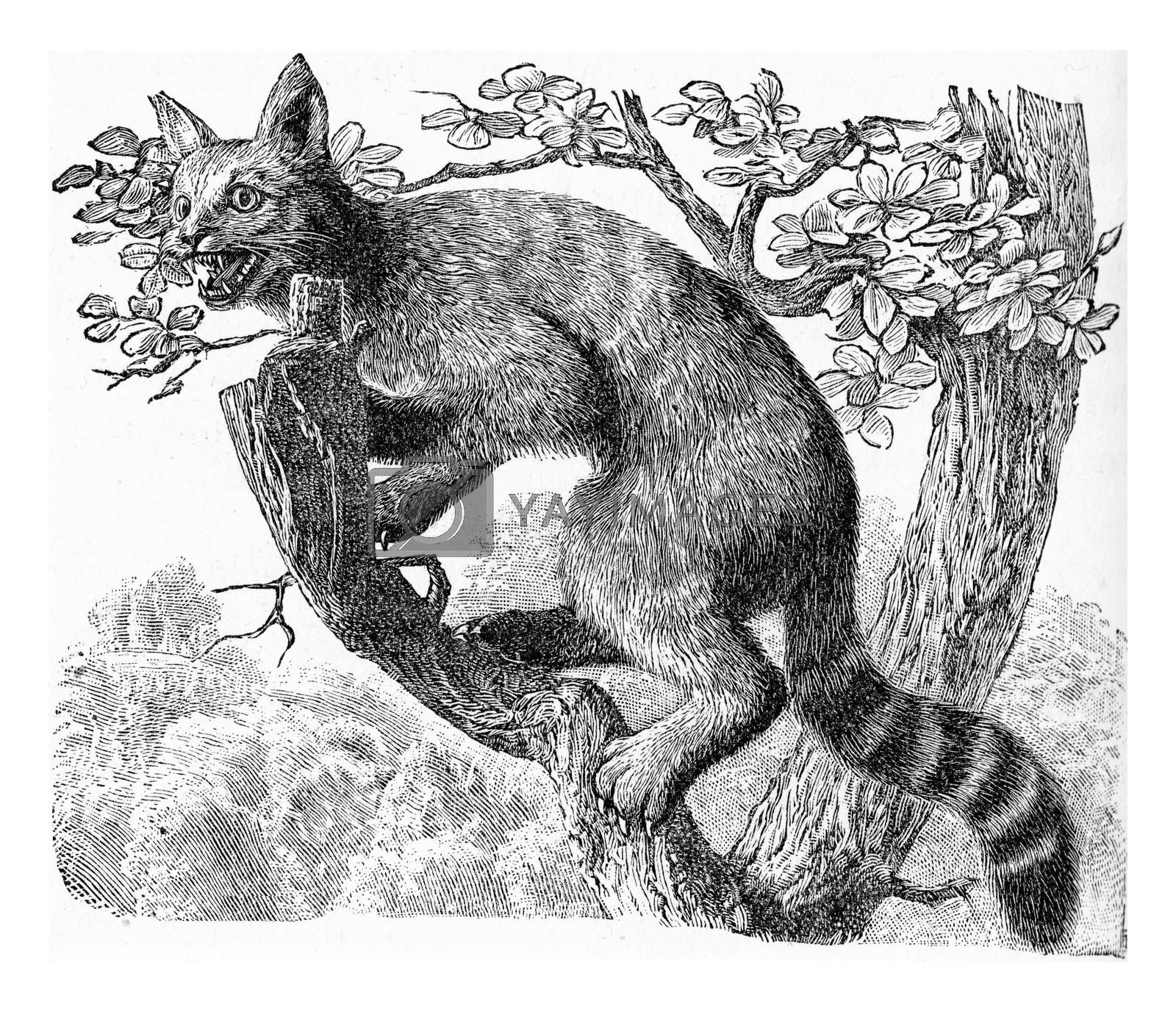 The wildcat, vintage engraved illustration. From Deutch Vogel Teaching in Zoology.