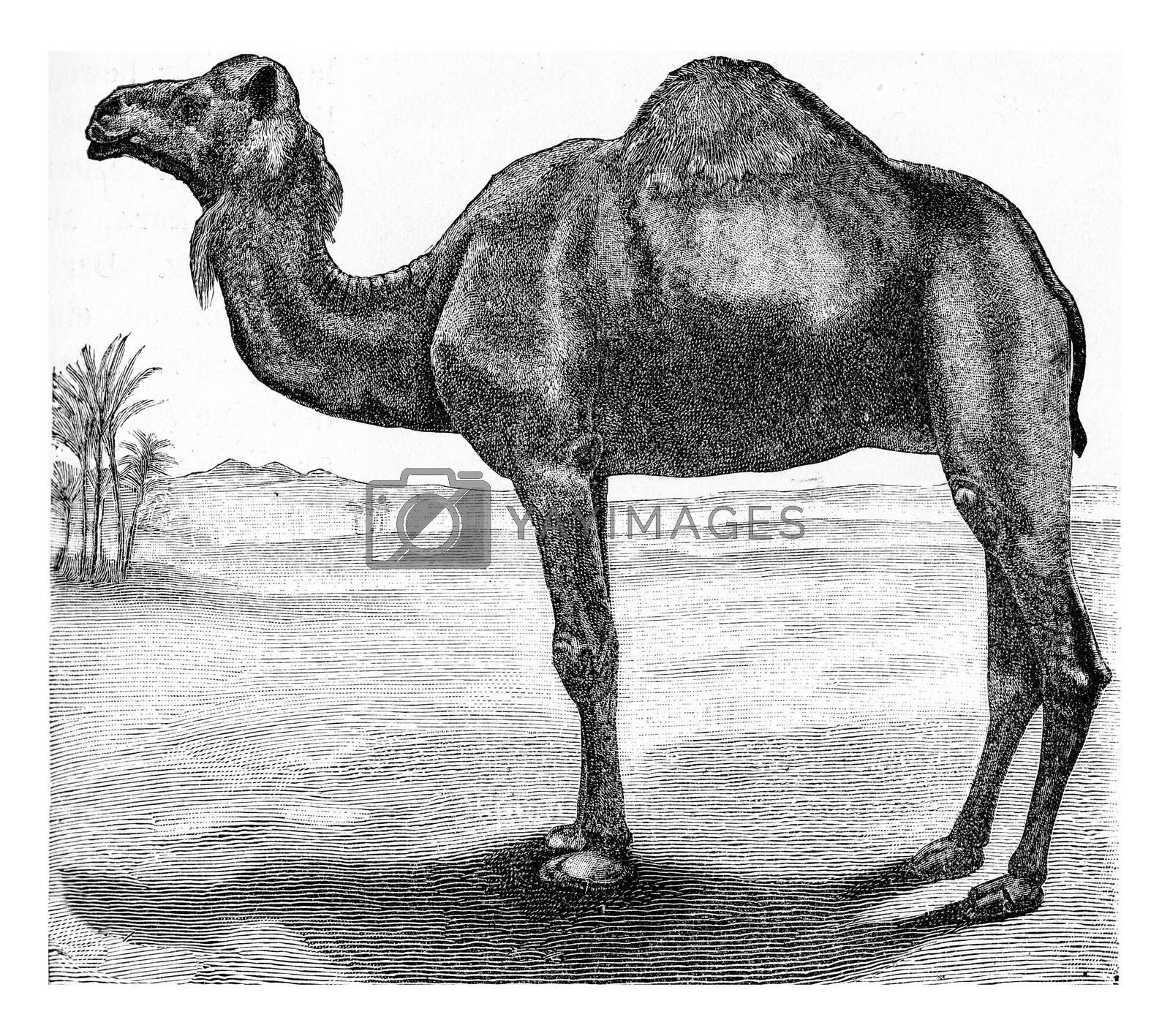 The dromedary, vintage engraved illustration. From Deutch Vogel Teaching in Zoology.