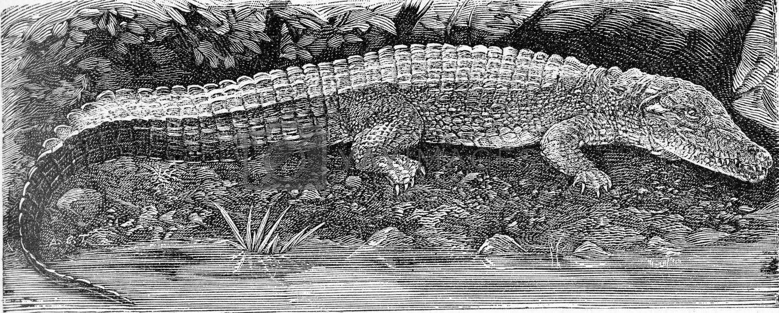 The Nile Crocodile, vintage engraved illustration. From Deutch Vogel Teaching in Zoology.