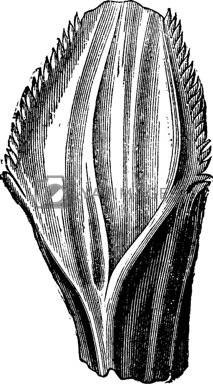 Iguanodon tooth, vintage engraved illustration. Earth before man – 1886.