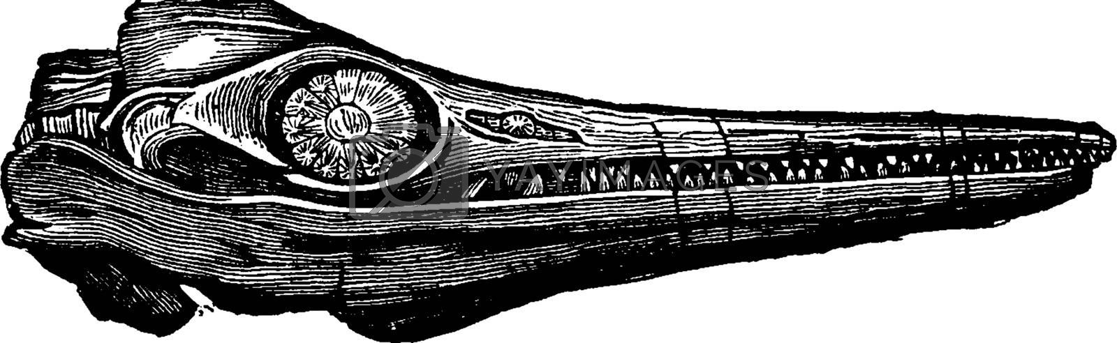 Ichthyosaur fossil head, vintage engraving. by Morphart