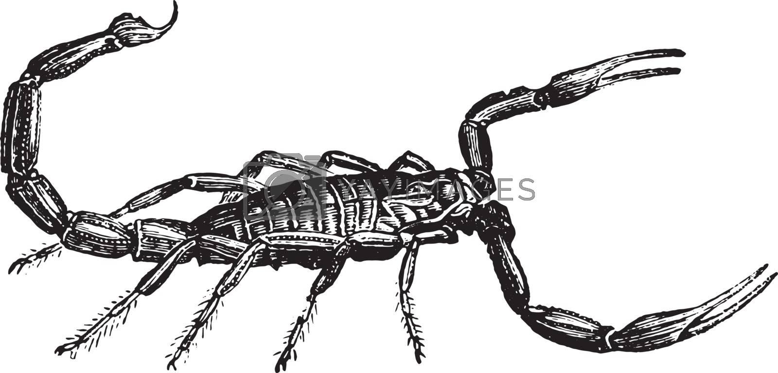 Scorpion, vintage engraving. by Morphart