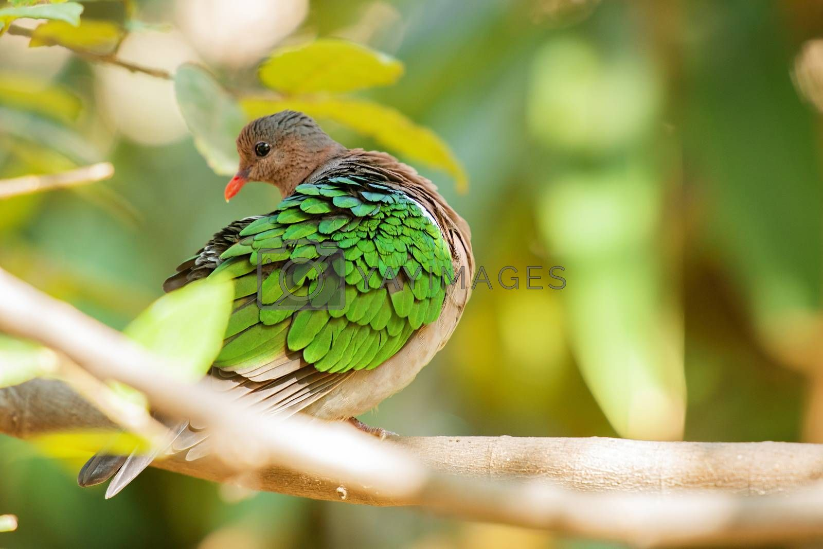 Royalty free image of Emerald Ground Dove by artistrobd