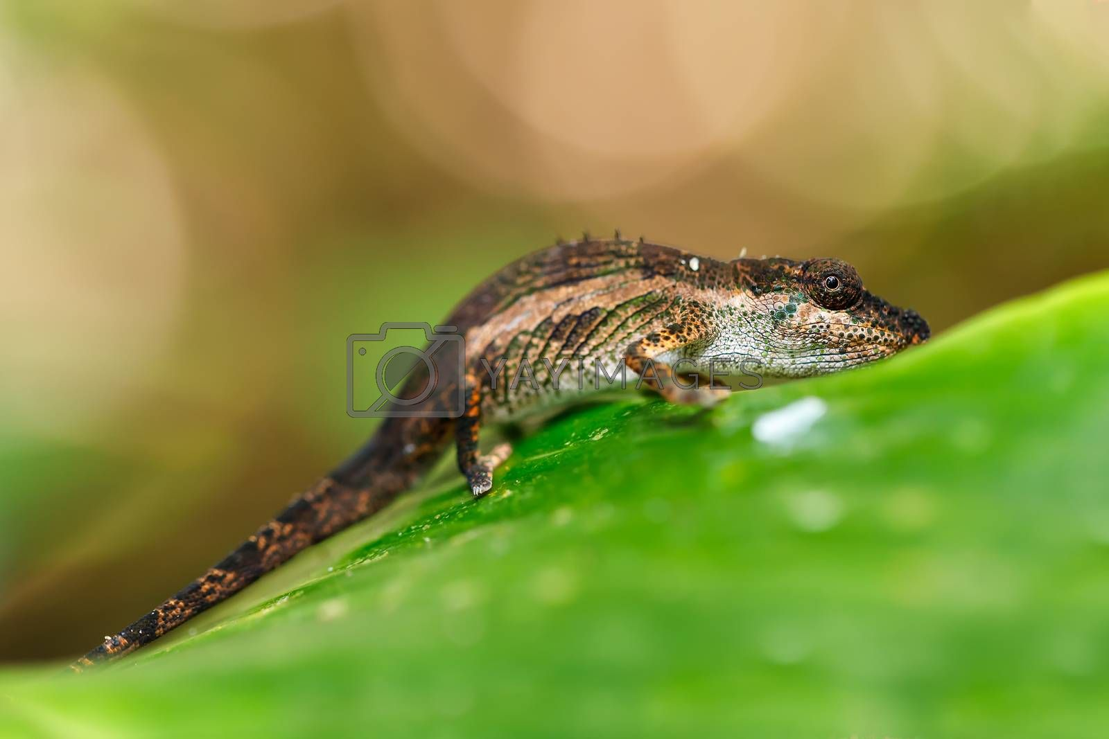 small baby of panther chameleon, Furcifer pardalis on small branch in rainforest at Masoala national park forest, Toamasina Province, Madagascar wildlife.
