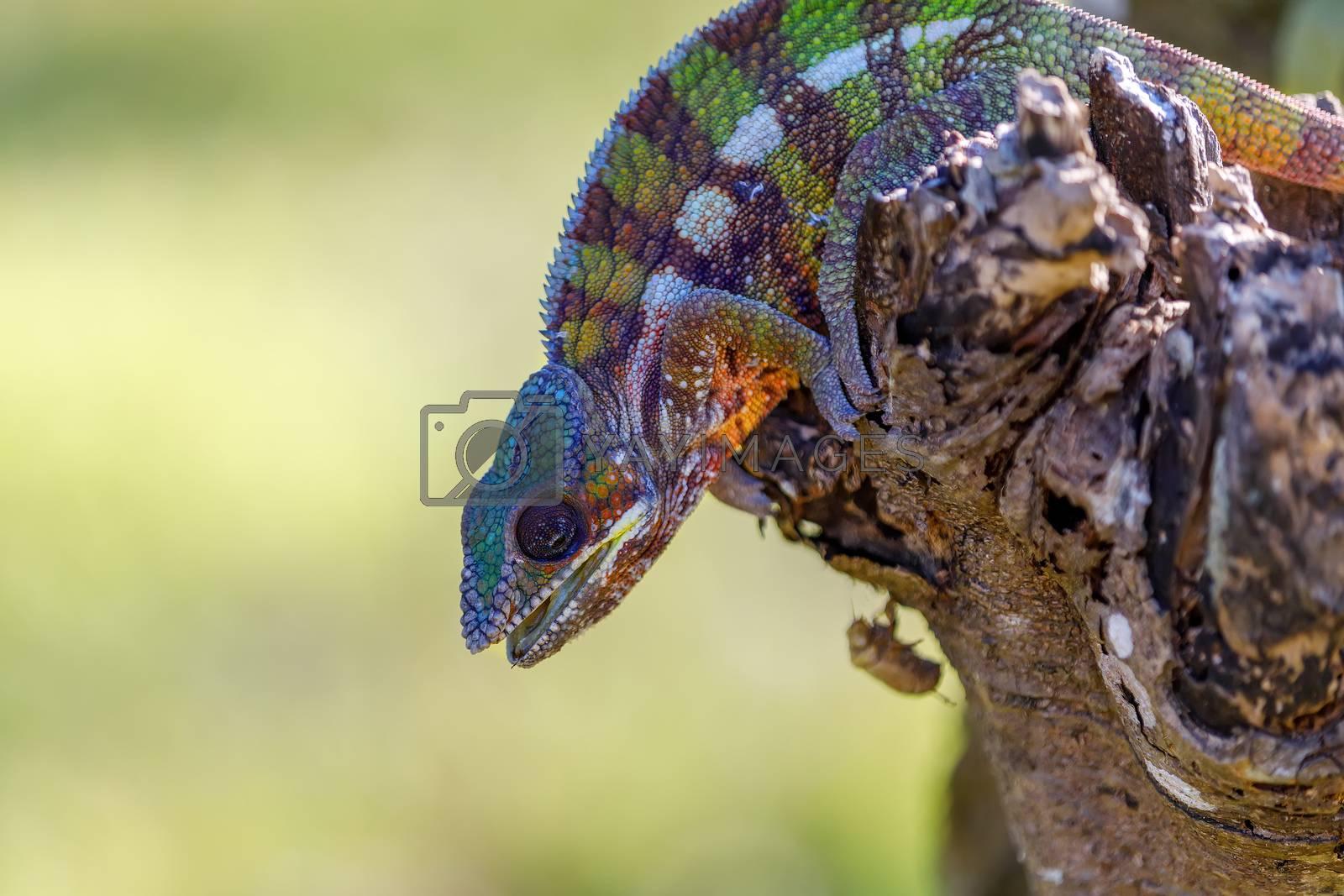 panther chameleon, Furcifer pardalis in natural habitat in rainforest at Masoala national park forest, Toamasina Province, Madagascar wildlife.