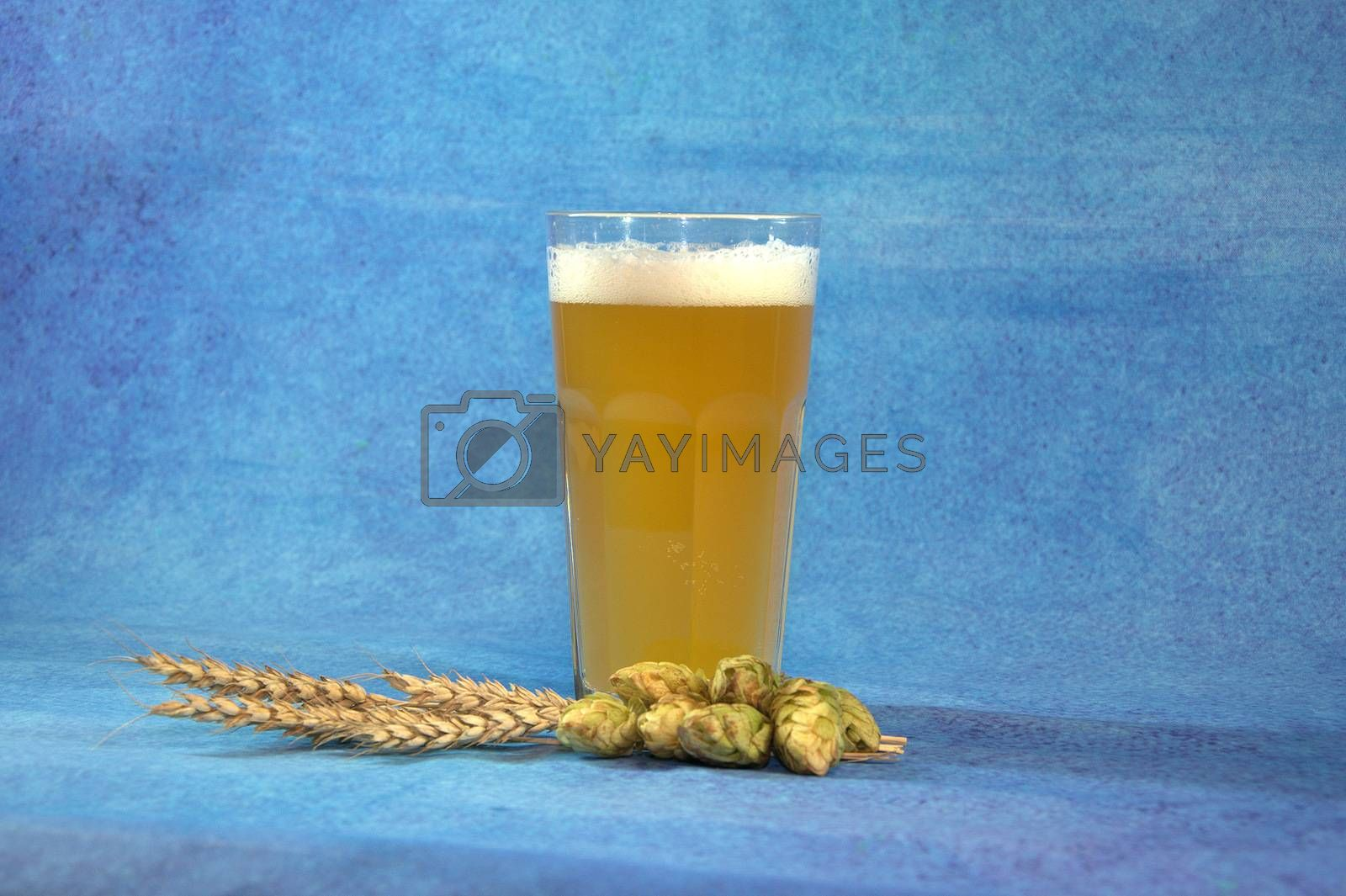 A full glass of light beer with foam, next to ears of wheat and hops. Blue background. Close-up.