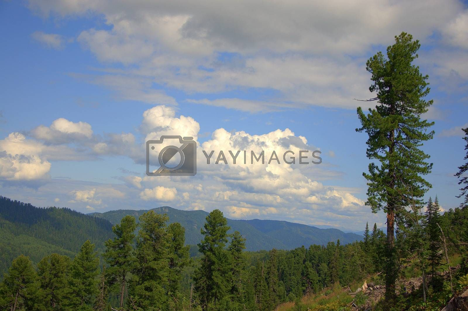 A look at the tops of the mountains through the tops of the pines. Pritsel Taiga, Altai, Russia.