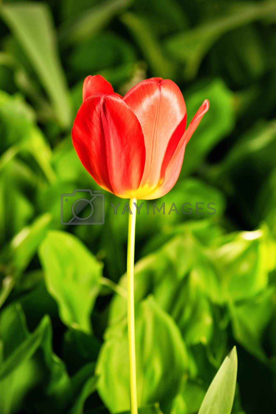 A close up shot of a red tulip in bloom with background of greenery.
