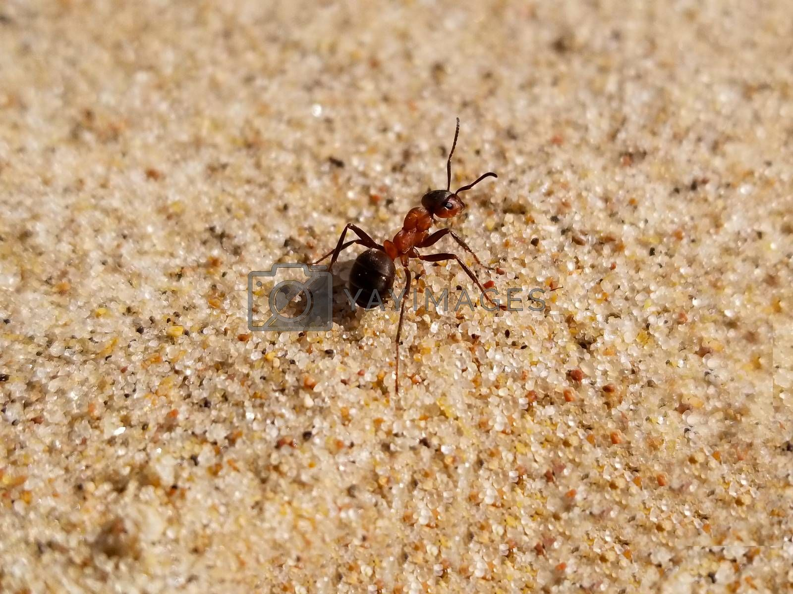 large ant creeps on yellow sand, close up. Lat. Formicidae. Selective focus.