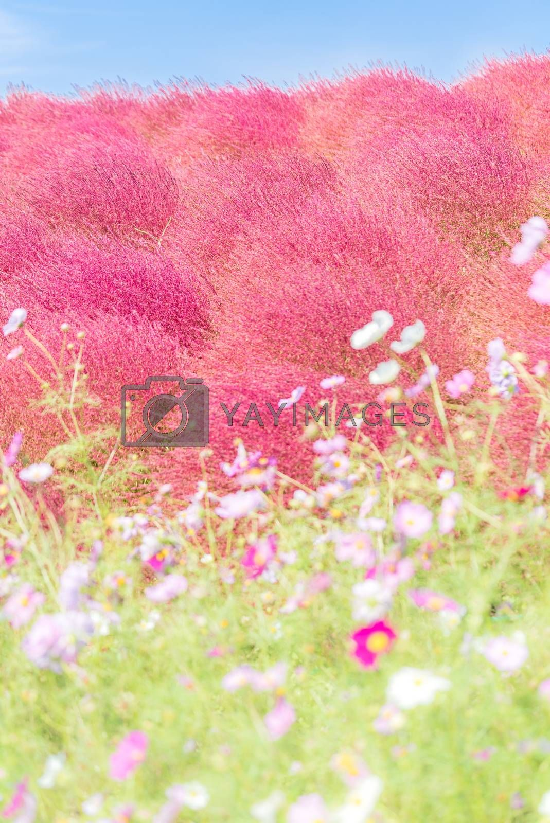 Kochia and cosmos bush with hill landscape Mountain,at Hitachi Seaside Park in autumn with blue sky at Ibaraki, Japan