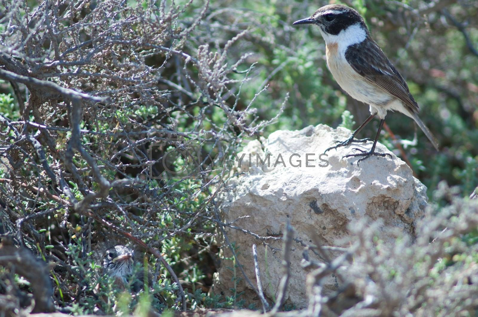 Canary Islands stonechats (Saxicola dacotiae). Male and its chick. Esquinzo ravine. La Oliva. Fuerteventura. Canary Islands. Spain.