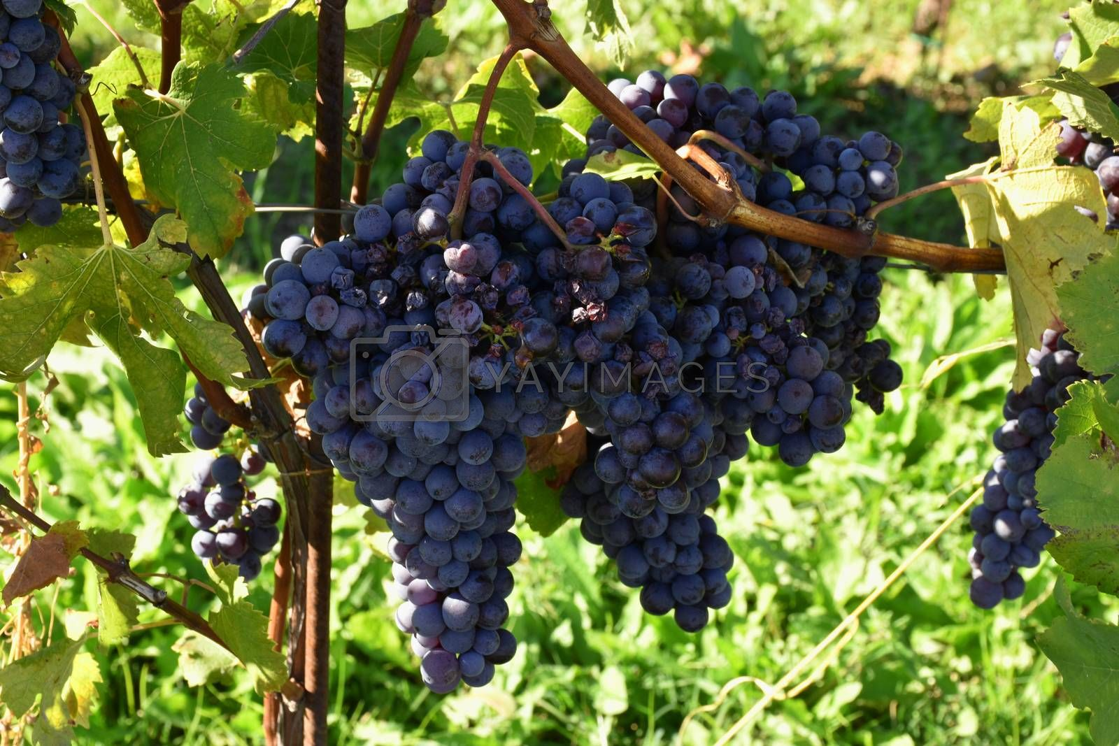 Banch of grapes used to make Italian wine, Piedmont, Langhe.