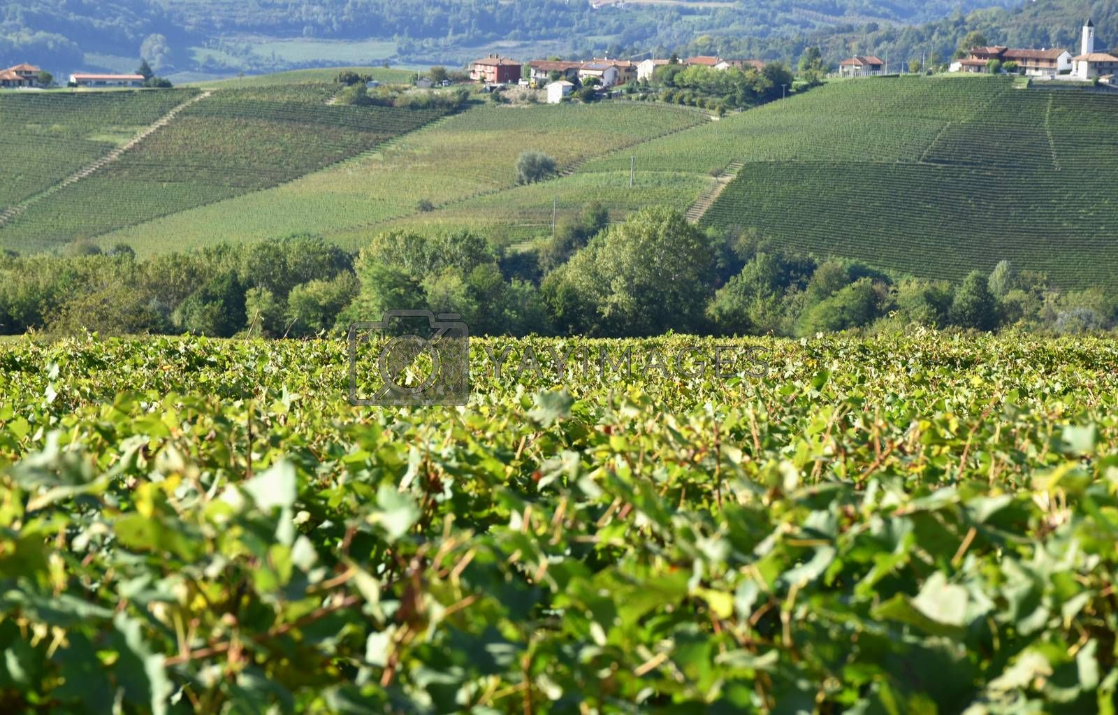 Langhe vineyards panorama famouse for wine production, Italy, Piedmont.
