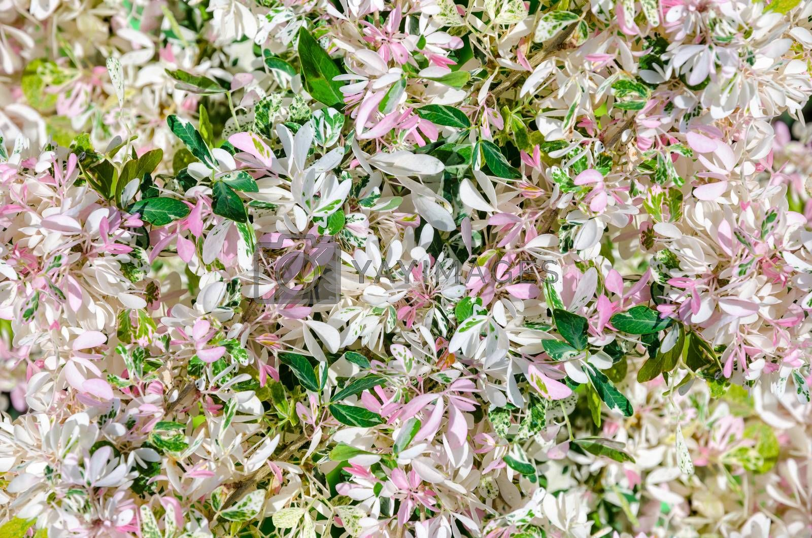 Beautiful nature of small leaves is white, green and pink on the tree of Pithecellobium duice or Madras Thorn for background