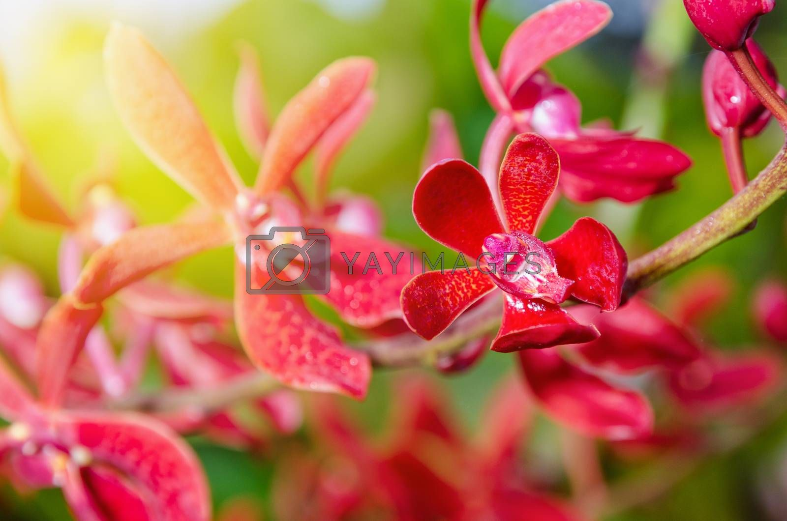Close-up of red flowers and sunlight is a beautiful nature of Renanopsis Lena Rowold or Rhynchostylis Orchid on the branch of tree