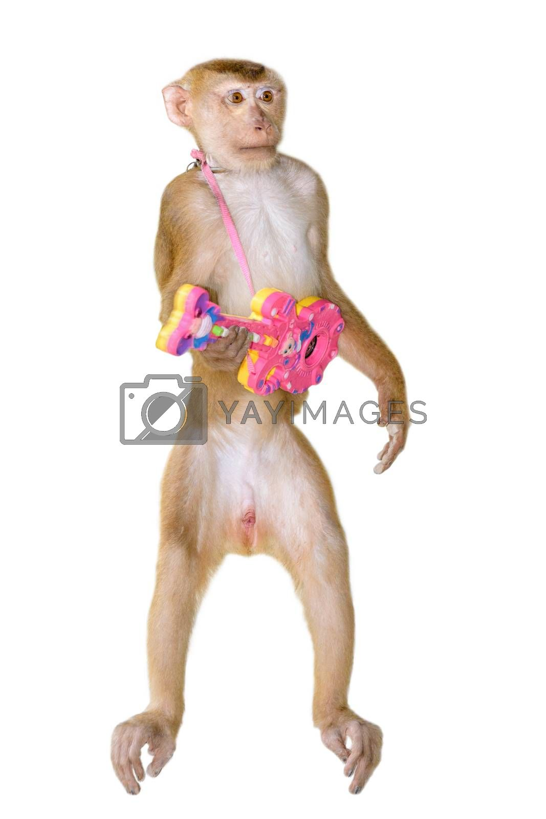 Macaque monkey standing hold toy guitar made of plastic with funny gesture on isolated white background