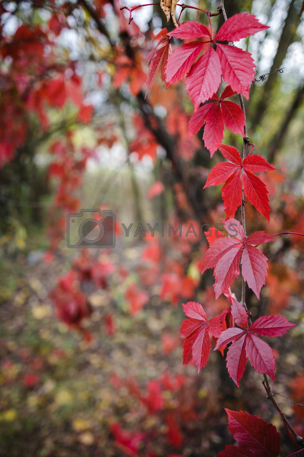 Royalty free image of bright red autumn leaves of wild grapes in the forest in blur, lush background, copy space by Tanacha