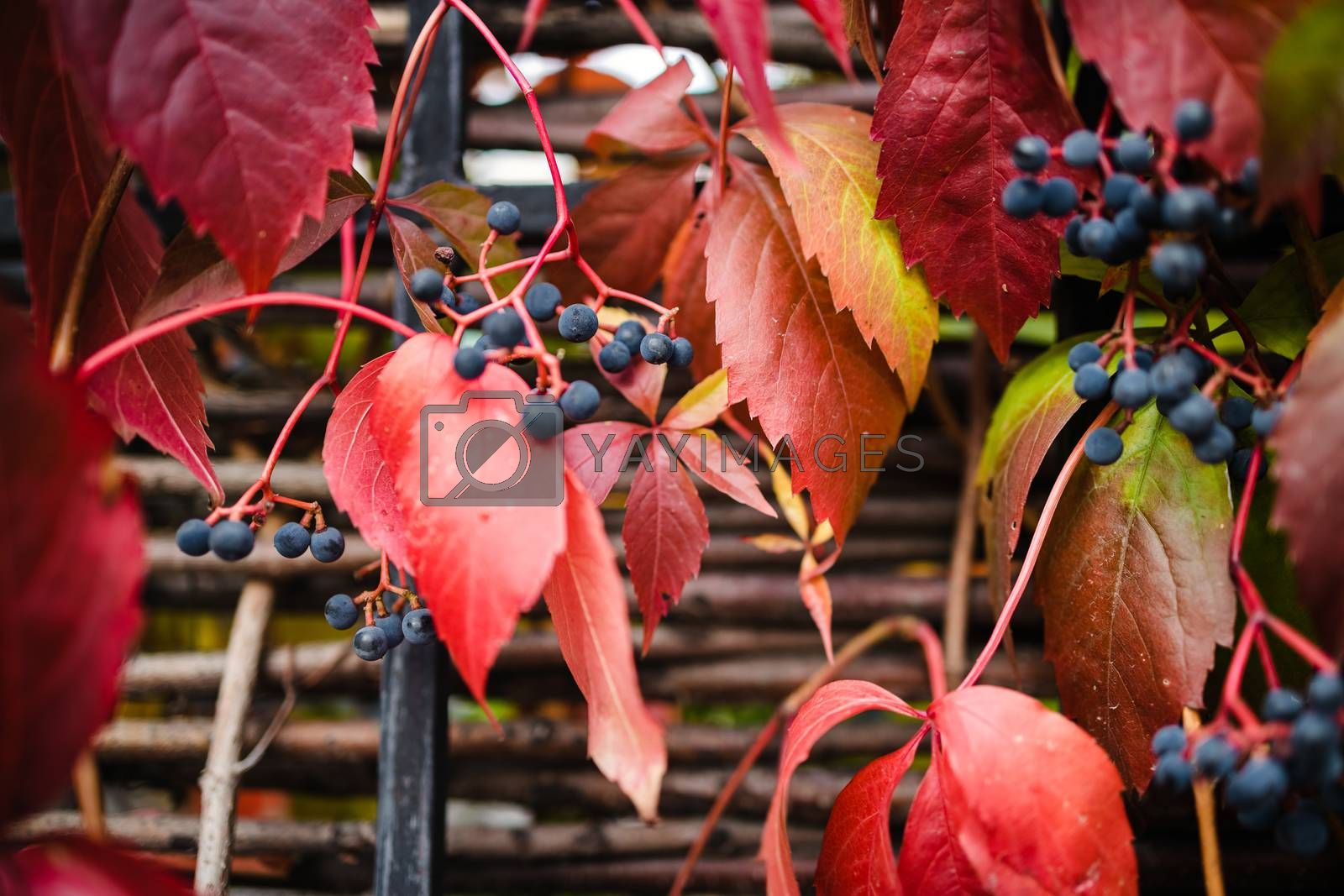 Royalty free image of bright red autumn leaves and berries of blue wild grapes growing on the fence, juicy background, copy space by Tanacha