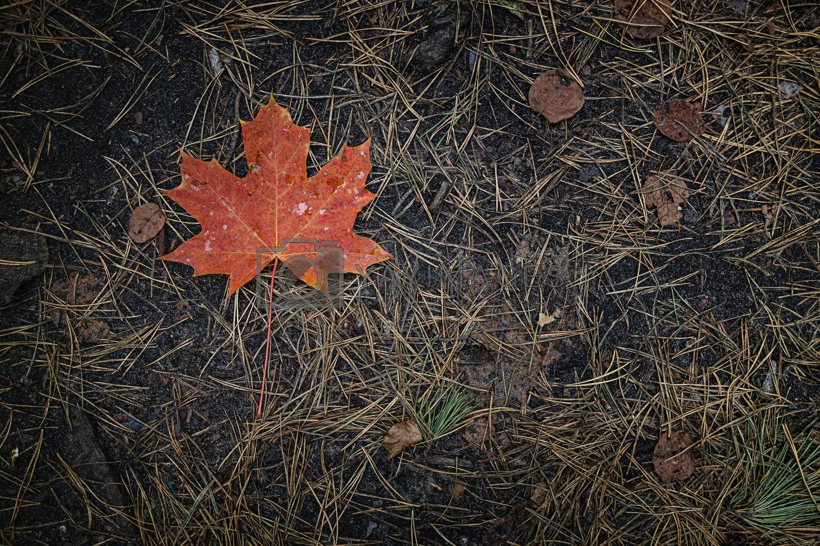 Royalty free image of The red-orange fallen maple leaf lies on dark ground with pine needles in the forest. Save the space. View from above. by Tanacha