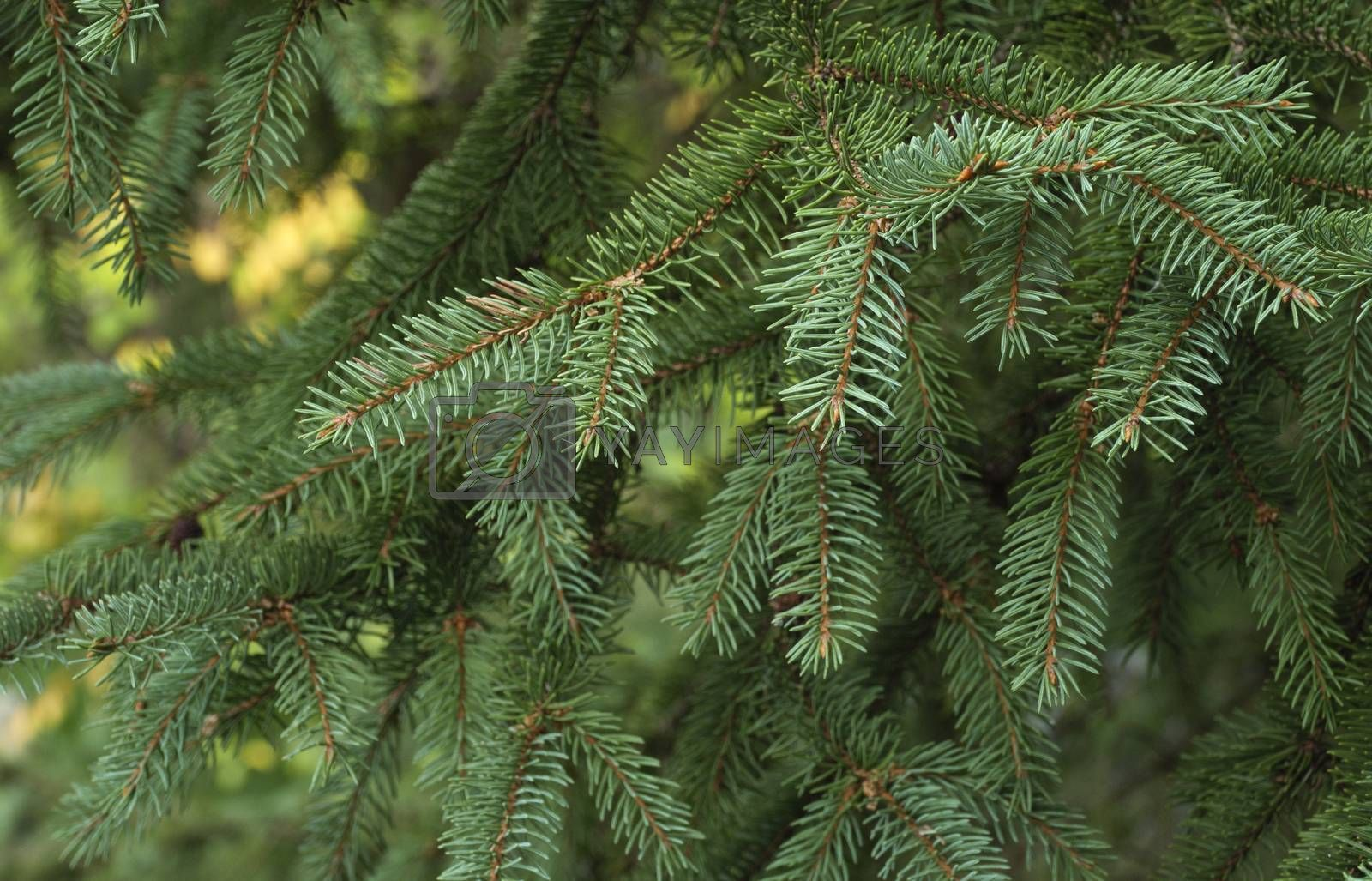 Royalty free image of Fir tree branch background close up by phortcach