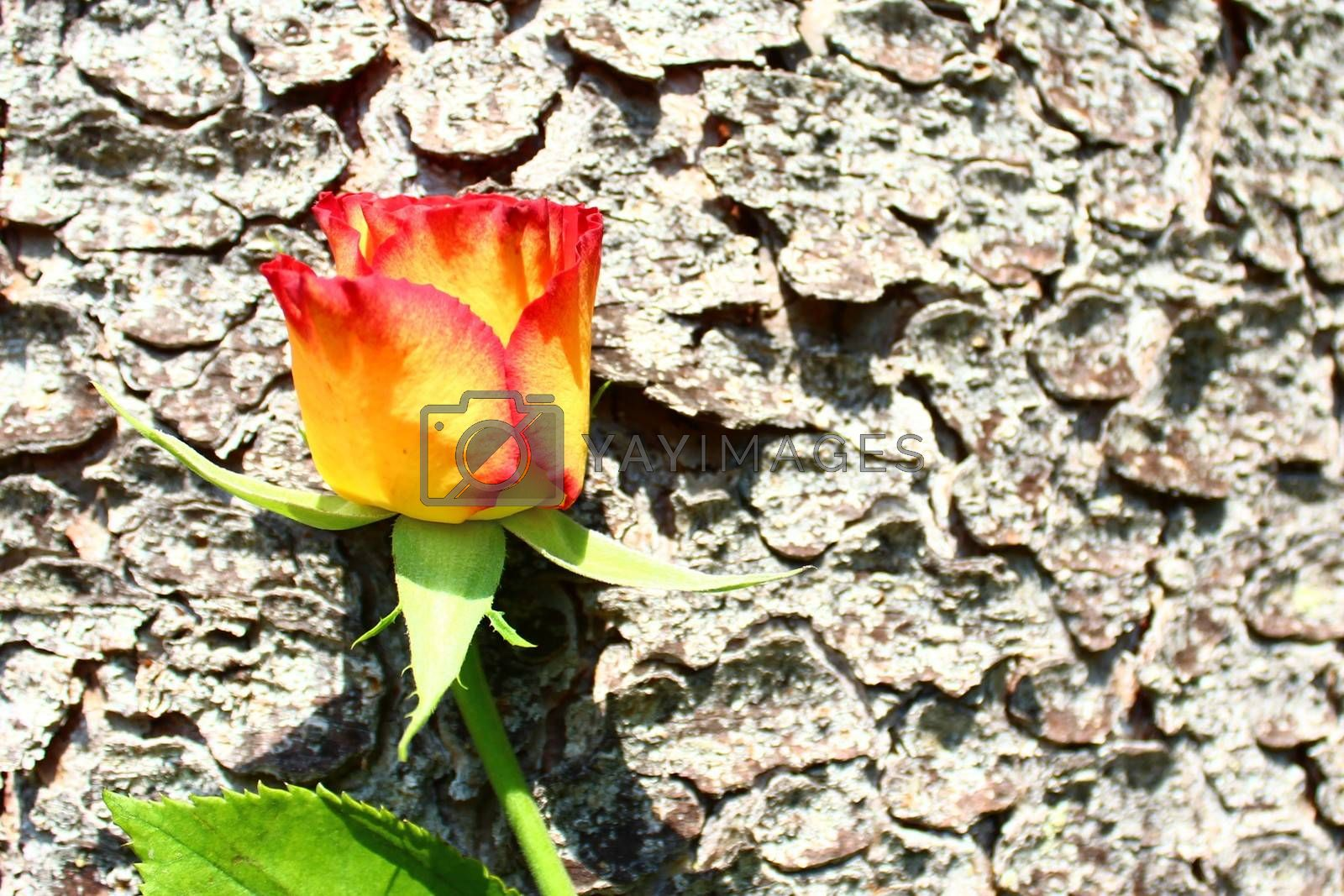 Royalty free image of rose on a tree by martina_unbehauen