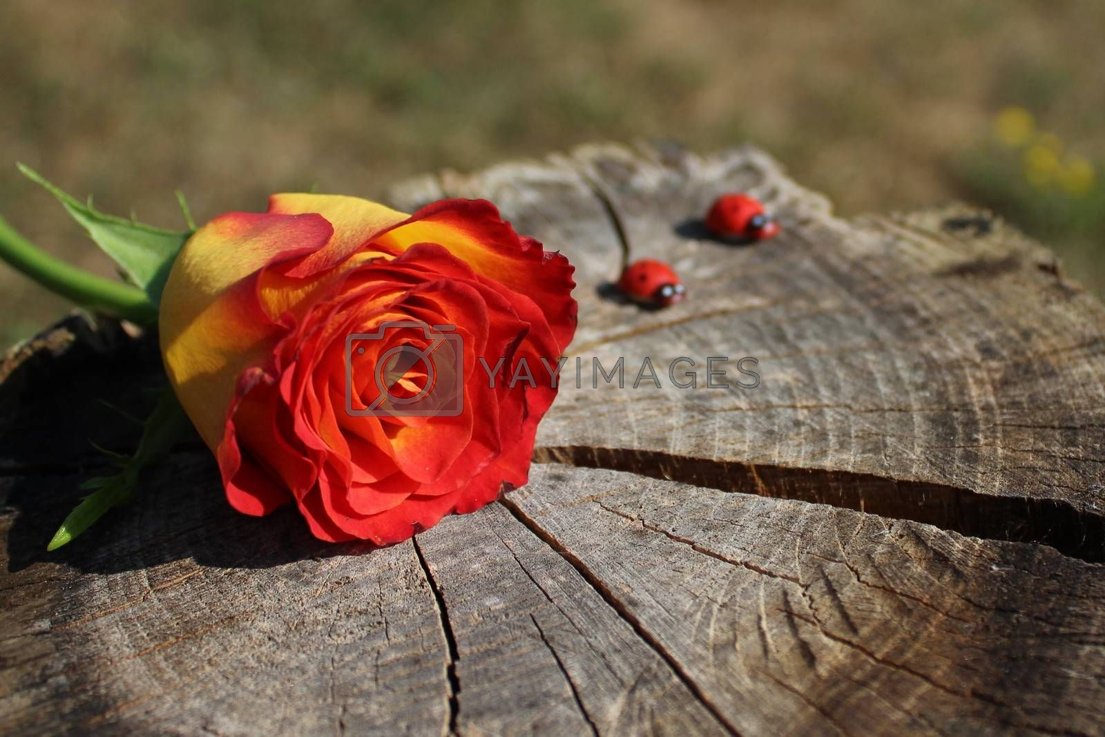 Royalty free image of a rose on wooden ground by martina_unbehauen