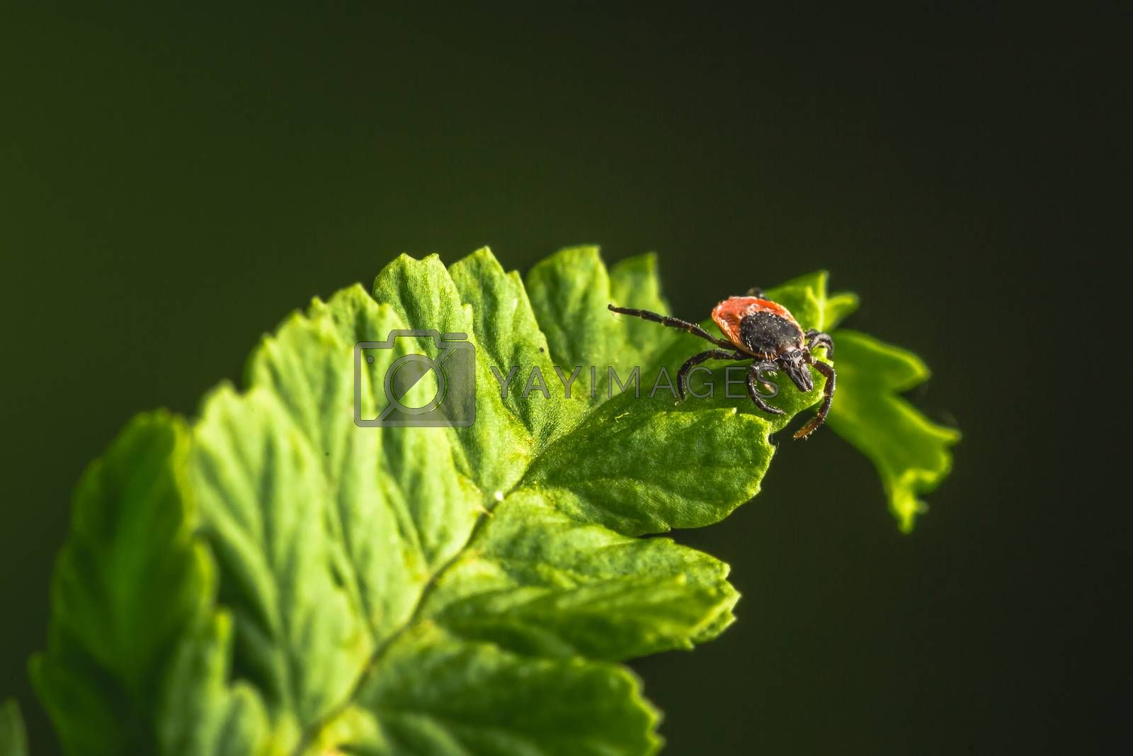 Royalty free image of Female of the tick sitting on a leaf, green background. A common European parasite attacking also humans. by petrsvoboda91