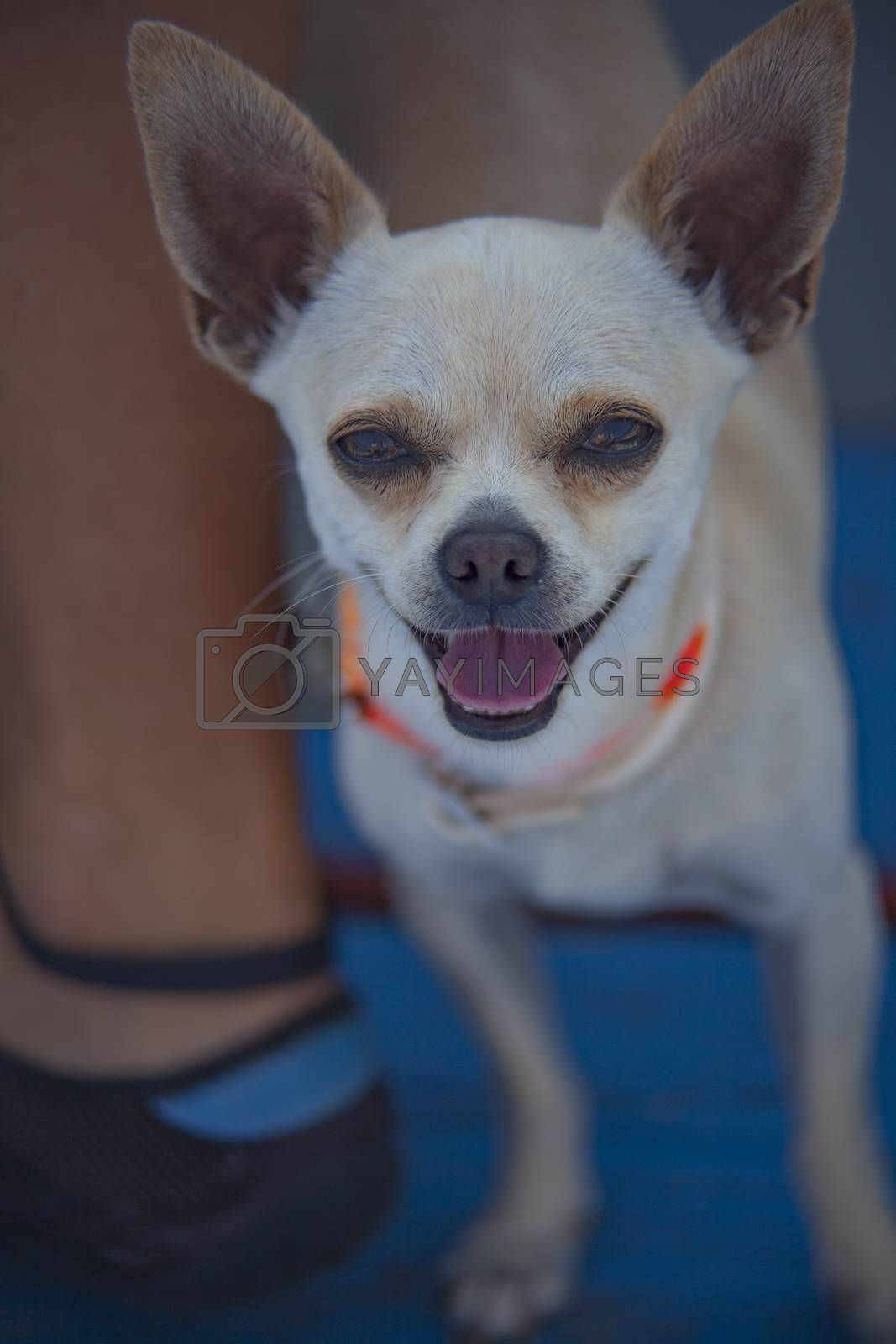 Royalty free image of Chihuahua in the boat #3 by pippocarlot