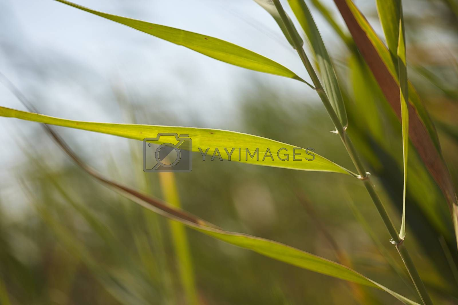 Royalty free image of Blades of grass #4 by pippocarlot