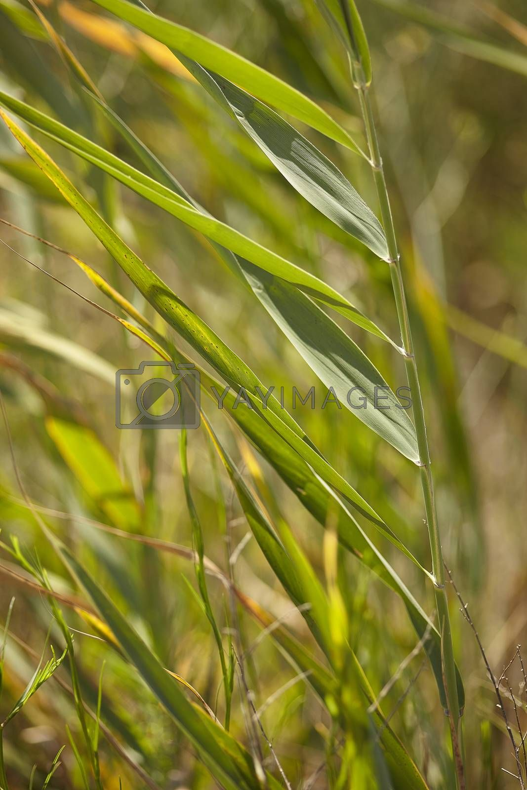 Royalty free image of Blades of grass by pippocarlot