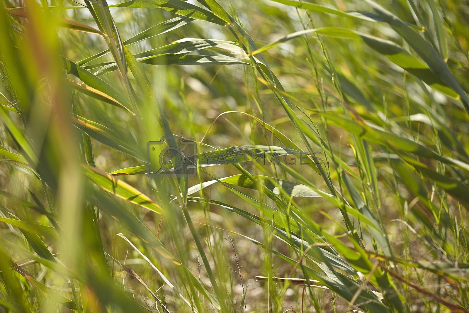 Royalty free image of Blades of grass #5 by pippocarlot
