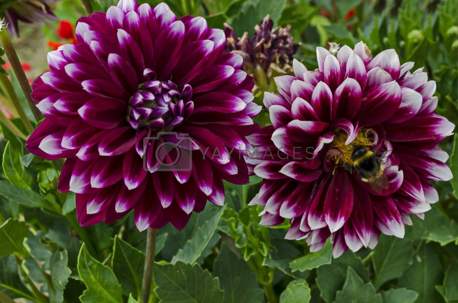 Royalty free image of Fresh twig of  mix color purple and white  Dahlia flower blooming in the garden, town Delchevo by vili45