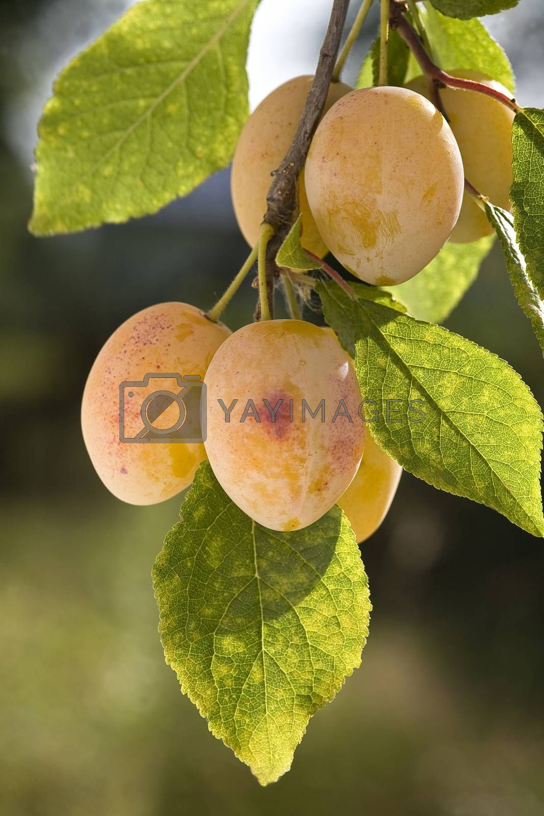 Royalty free image of yellow plums on branch by phortcach