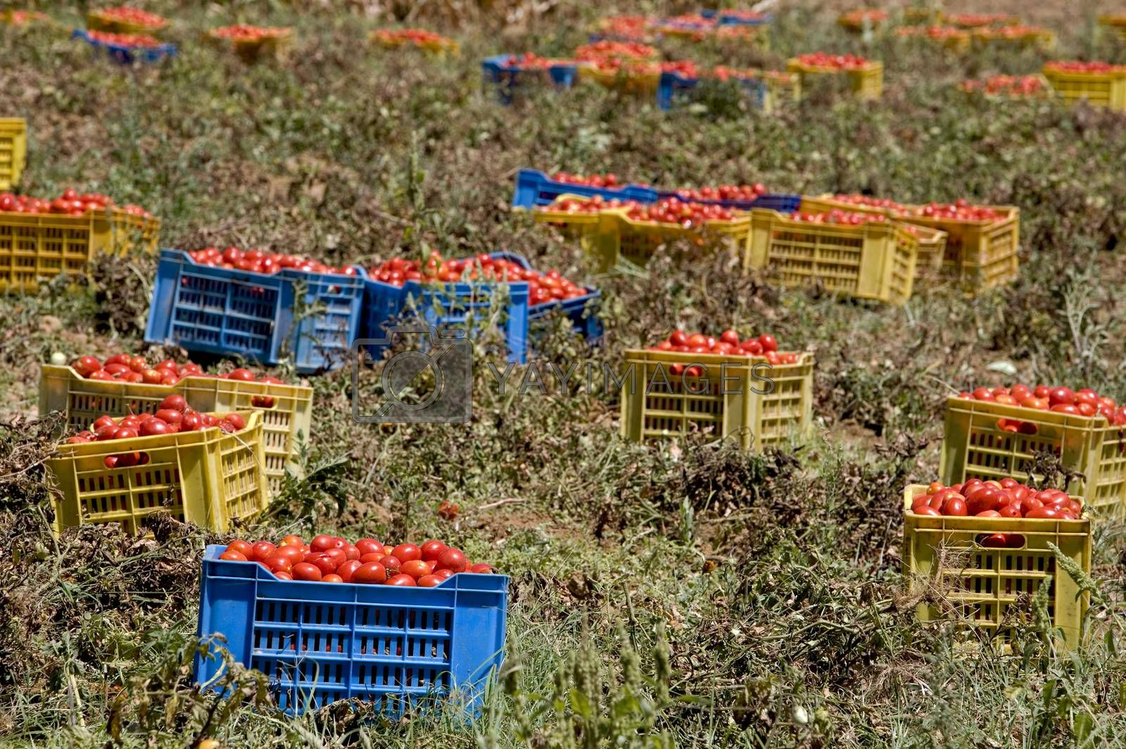 Royalty free image of  fresh tomatoes, collected in boxes, on the field by phortcach