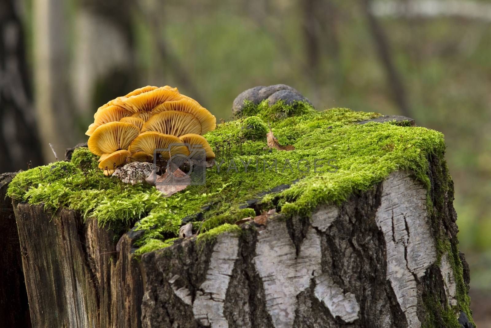 Royalty free image of mushrooms, growing on a tree stump by phortcach