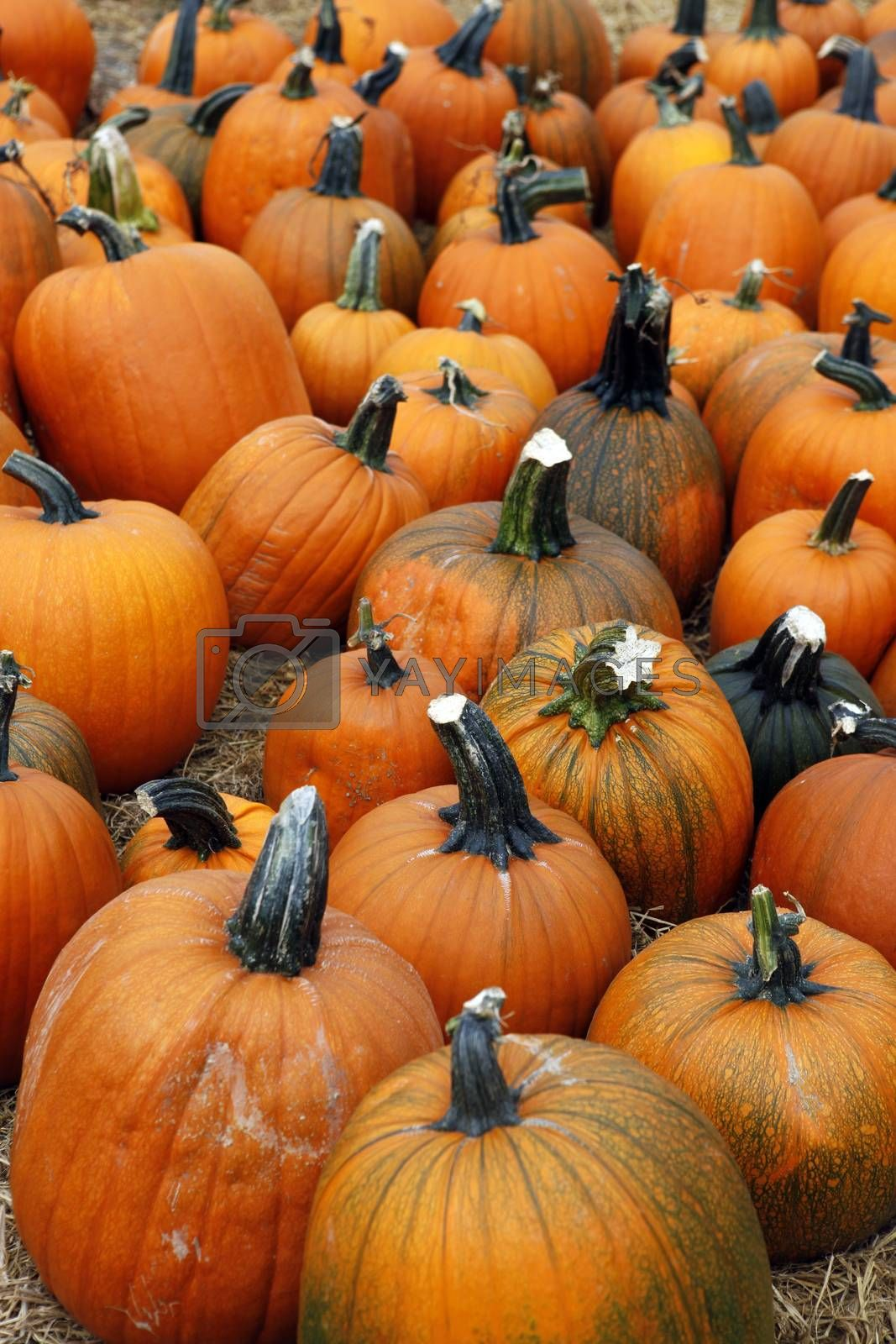 Fair of a pumpkins in California by friday