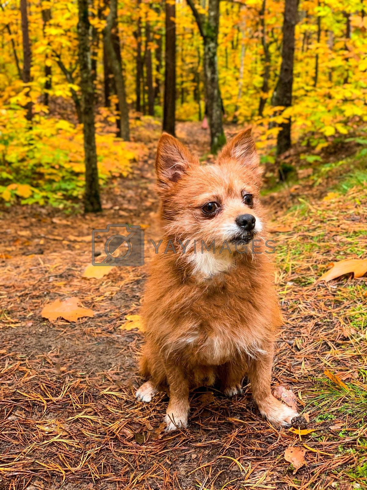 red dog, like a fox sitting on the yellow fallen leaves. On a blurred background of autumn trees with yellow leaves.