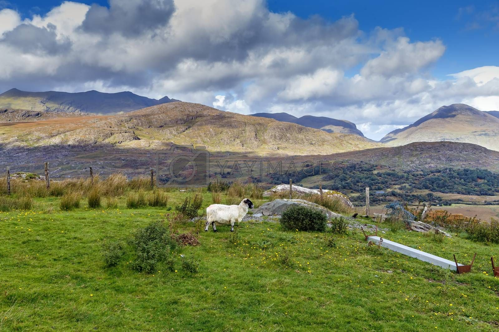 Mountain Landscape with sheep in Ring of Kerry, Ireland