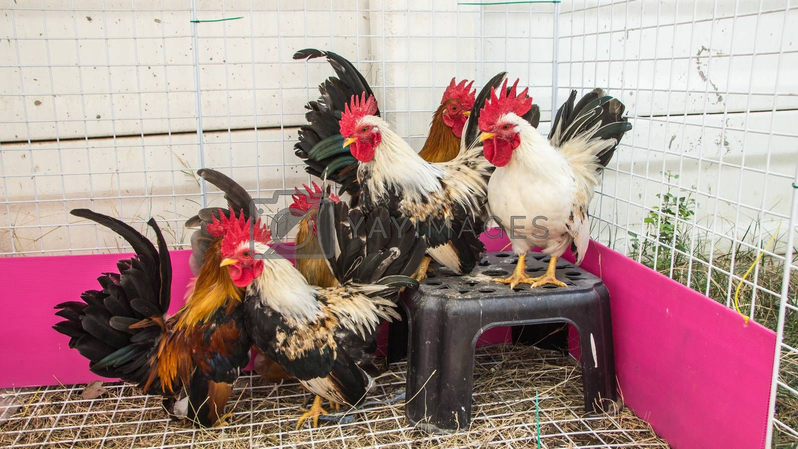 Colorful Rooster. Cock. Bantam